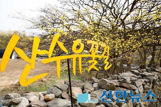 【이천시】 백사산수유꽃축제장 방문객 맞이